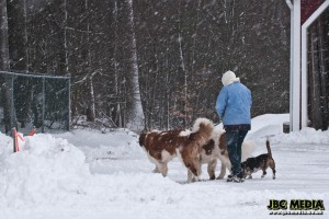 St Bernards in the Snow!