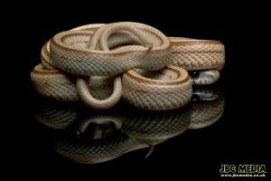 Caramel Stripe Corn Snake