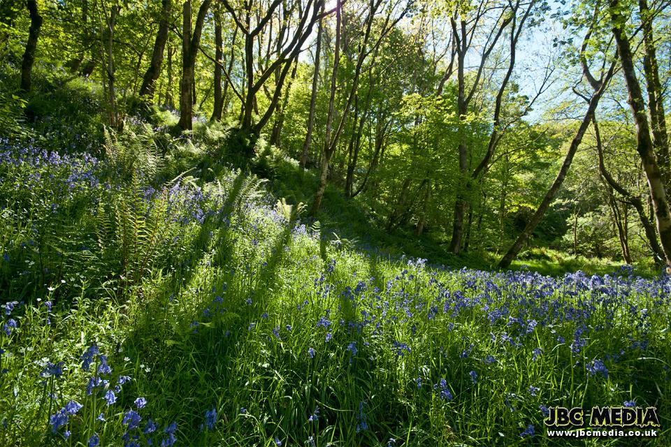 Backlit Bluebell Woods